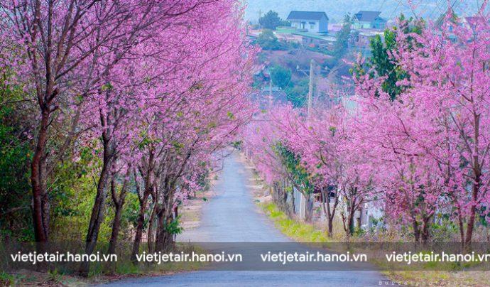 Đến Đà Lạt từ tháng 2 - 4 bạn có thể thấy hoa mai anh đào nở rộ
