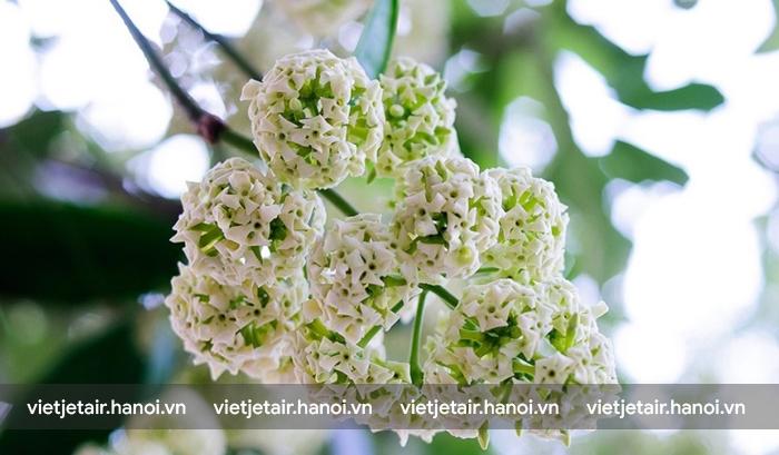 Mùi hoa sữa trên các con phố Hà Nội khi vào thu
