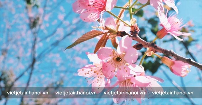Hoa anh đào ở Chiang Mai