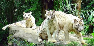 Ngắm nhìn các loài động vật tại Singapore Zoo